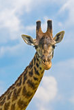 Head of giraffe over sky Stock Photos