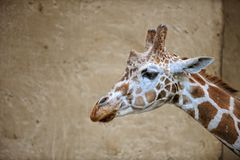 Head of Giraffe with wall back ground. stock image
