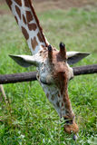 Head of a giraffe Stock Photography
