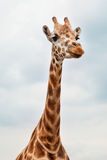 Head of a Giraffe in the wild Royalty Free Stock Image