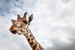 Head of a Giraffe in the wild Stock Image