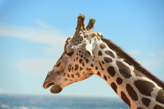 Head of Girafffe outdoors Stock Photography