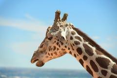 Head of Girafffe outdoors Stock Photography