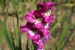 Gladiolus flower. Head of gladiolus flower in summer garden Stock Image