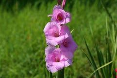 Gladiolus flower. Head of gladiolus flower in summer garden Royalty Free Stock Image