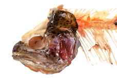 Head and gnawed spine of trout fish isolated Stock Photography
