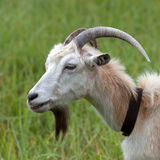 Head of a goat. Side view Royalty Free Stock Image