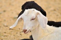 Head of Goat Stock Photo