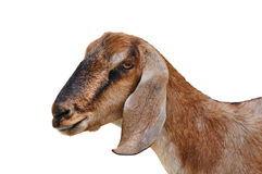 Head of a goat Royalty Free Stock Photos