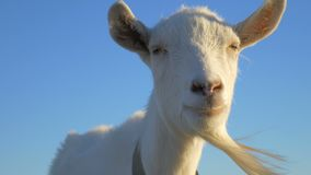 Animals, close-up of a goat. Head goat close-up. The animal is chewing stock video footage