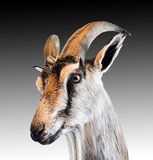 Head  of a goat, Stock Images