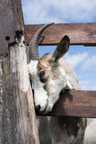 Head of goat in green grassy dutch meadow behind wooden fence Stock Image