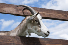 Head of goat in green grassy dutch meadow behind wooden fence Stock Photography