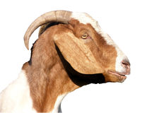 Head goat profile Royalty Free Stock Photo