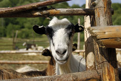 Head of a goat. Seen through wooden fence Royalty Free Stock Photos