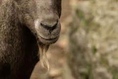 Head of a goat Stock Photos