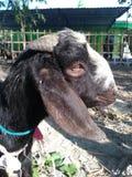 Head of goats etawa who will be sacrificed on the feast of eid al-adha on friday, september 1, 2017 Royalty Free Stock Photo