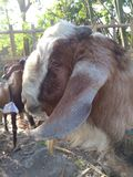 Head of goats etawa who will be sacrificed on the feast of eid al-adha on friday, september 1, 2017 Royalty Free Stock Image