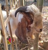 Head of goats etawa who will be sacrificed on the feast of eid al-adha in a village on friday, september 1, 2017. Head of goats etawa who will be sacrificed on stock image