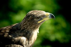 Head of golden eagle close up. Eagle on a green background royalty free stock photo