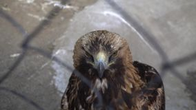 Golden eagle close up. Head of golden eagle close-up at the zoo stock video footage