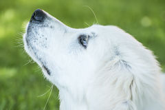 Head of Golden Retriever Royalty Free Stock Photography