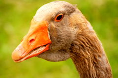 Head of goose Stock Photos
