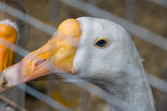 The head of a goose with blue eyes Royalty Free Stock Image