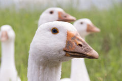 The head of a goose Royalty Free Stock Image