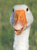 Head of the goose Stock Photography