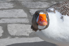 Head of the goose close up Stock Photos
