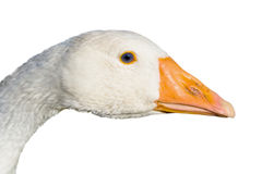Head of the goose stock image