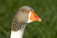 Head Of A Goose Royalty Free Stock Images