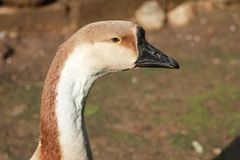 The head of the goose.Closeup. The background out of focus. One a sunny day in the village stock photos