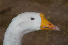 The head of a goose. Goose head and neck part on a brown background Royalty Free Stock Images