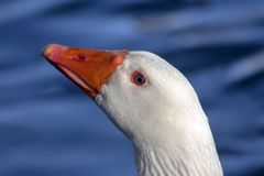 PPortrait of a goose with blue eyes. Closeup. When the head of the goose is shot so closely, it is almost always impressed for some sort of drama stock photos