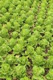 Head grönsallat för smör Fotografering för Bildbyråer
