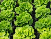 Head grönsallat för smör royaltyfria bilder