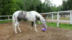 Horse in the paddock. Head graceful horse close. Lovely animal gelding and his eyes. Sport horses in harness stock video