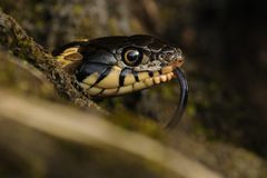 Head of a Grass Snake. Other names of this snakes are water snake or ringed snake Stock Images
