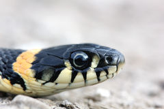 Head of Grass snake with his tongue hanging out crawling on grou Stock Image