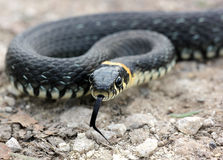 Head of Grass snake with his tongue hanging out crawling on grou Stock Photography