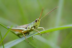 Head of grasshopper closeup, macro stock photography