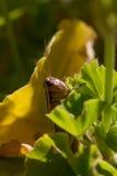 Head of a Grasshopper on a garden plant Stock Photos
