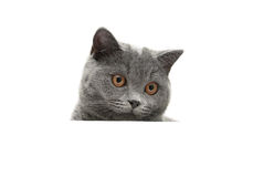 Head gray cat close up isolated on white background Stock Photo