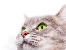 The head of the gray cat with green eyes looking up Royalty Free Stock Photos