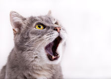 The head of the gray cat looking up, mewing and having widely op Royalty Free Stock Photography