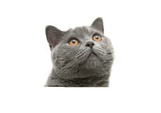 Head of gray cat with yellow eyes isolated on a white background Stock Photography