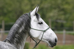 Head of a gray colored lipizzaner foal.  Side view portrait of y Royalty Free Stock Photos