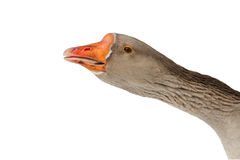 The head is gray goose with a long neck on a white isolated background Royalty Free Stock Photography